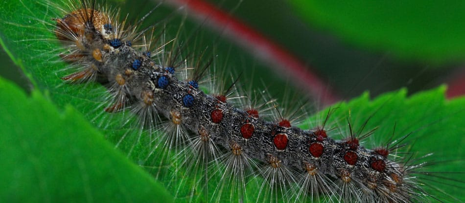 How To Protect Your Property From Gypsy Moth Organic