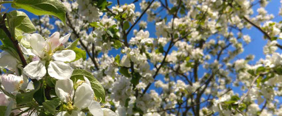 Best Spring Flowering Trees For Central Nj Pa Organic Plant