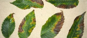 Bacterial leaf scorch symptoms on elm leaves