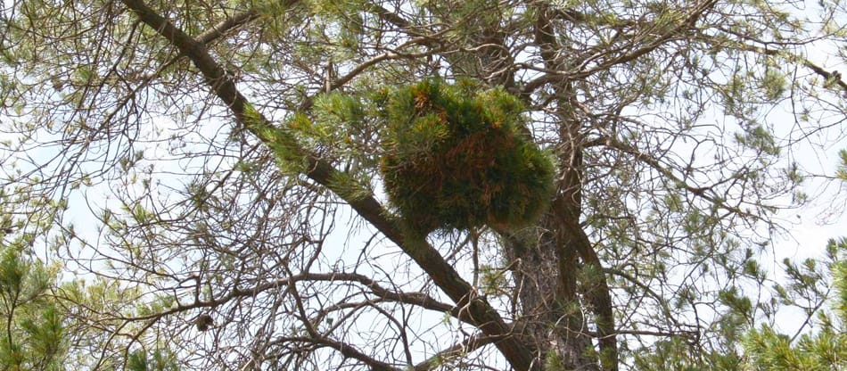 witches' broom in pine tree
