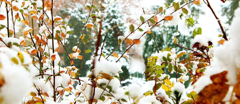 Shrubs with green, yellow, and red foliage covered in a light snow
